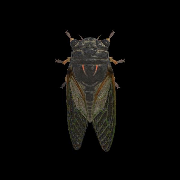 Cicala gigante
