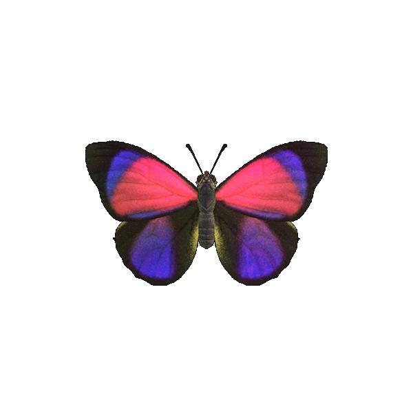 Farfalla agrias