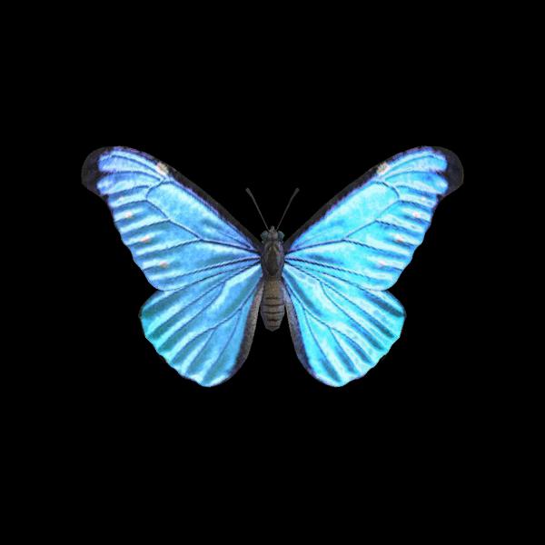 Farfalla morfo blu