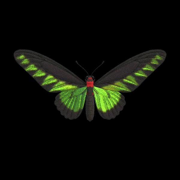 Farfalla Raja Brooke