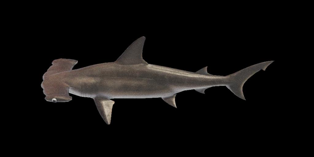 Pesce martello
