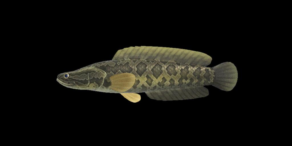 Pesce serpente